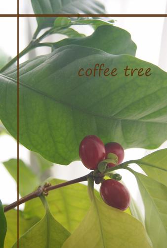 コーヒーの木.jpg
